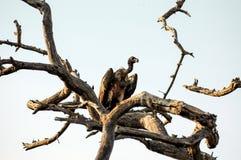 Buitre en árbol Fotografía de archivo