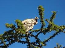 Buitre en Kenia Imagen de archivo