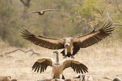 Buitre movido hacia atrás blanco en vuelo, Suráfrica Imagenes de archivo