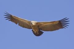 Buitre movido hacia atrás blanco en vuelo, Suráfrica Imágenes de archivo libres de regalías