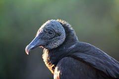 Buitre negro Imagen de archivo