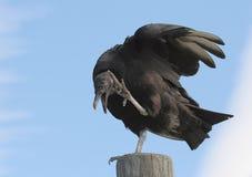 Buitre negro encaramado Foto de archivo libre de regalías
