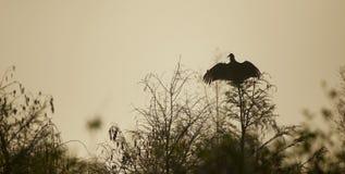 Buitre negro que separa sus alas Fotografía de archivo