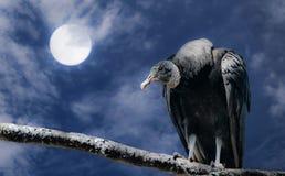 Buitre negro y Luna Llena Fotos de archivo libres de regalías