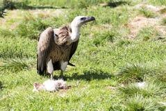 Buitre que come el pollo muerto Imagen de archivo libre de regalías