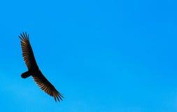Buitre Wing Span Imagenes de archivo