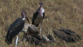 Buitres blancos y cigüeñas apoyados que alimentan en una cebra muerta en masai Mara almacen de metraje de vídeo
