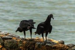 Buitres brasileños negros cerca del mar imagen de archivo
