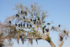 Buitres en árbol Fotos de archivo