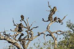 Buitres en árbol muerto Imagenes de archivo