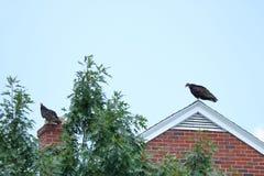 Buitres en el top del tejado Fotografía de archivo