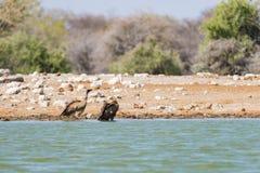 Buitres en el waterhole, parque nacional de Etosha, safari del viaje en Namibia, África Fotos de archivo libres de regalías