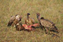 Buitres en Serengeti, Tanzania Foto de archivo libre de regalías