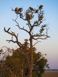 Buitres en un árbol en la salida del sol en el parque natural de Chobe en Botswana, África Fotos de archivo libres de regalías