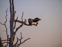 Buitres en un árbol en la salida del sol en el parque natural de Chobe en Botswana, África Imagen de archivo
