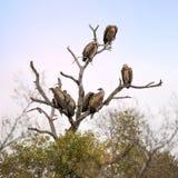 Buitres en un árbol muerto Fotografía de archivo libre de regalías