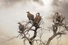 Buitres en un árbol muerto Foto de archivo