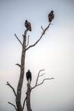 Buitres encaramados en un árbol muerto Imágenes de archivo libres de regalías
