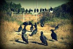 Buitres negros Fotografía de archivo libre de regalías