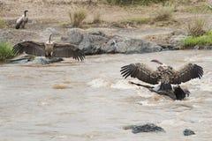 Buitres que alimentan en un ñu muerto  Imagen de archivo libre de regalías
