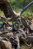 Buitres que alimentan en una res muerta del búfalo Foto de archivo