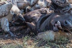 Buitres que alimentan en una res muerta del búfalo Imágenes de archivo libres de regalías