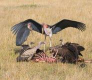 Buitres y feedind del marabú, masai Mara, Kenia Imágenes de archivo libres de regalías