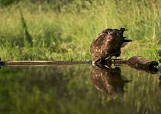 Buizerd, Common Buzzard, Buteo buteo. Buizerd drinkend in bosvijver; Common Buzzard drinking at a forestpool stock photos