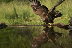 Buizerd, Common Buzzard, Buteo buteo. Buizerd wegvliegend; Common Buzzard flying away royalty free stock photo