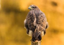 Buizerd in de wildernis Stock Fotografie