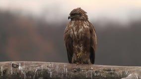 Buizerd die in het bos in Hongarije vliegen stock videobeelden