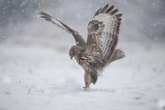Buizerd in sneeuw Stock Afbeeldingen