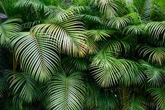 Bujny ściana zieleni tropikalni palmowi frond liście z egzot teksturami w Kolumbia i kształtami obraz royalty free