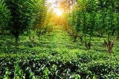 Bujny Ceylon herbaciana plantacja obrazy stock