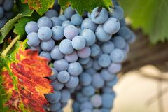 Bujny, Dojrzali win winogrona na winogradzie Przygotowywającym dla żniwa fotografia stock