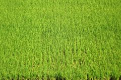 Bujny i zieleni Rice pole obrazy royalty free