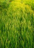 Bujny Rice Zielony Organicznie pole Podczas Złotego wschód słońca w ranku obrazy royalty free