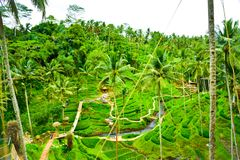 Bujny ryż tarasu pola zielonego lasu tropikalnego tropikalna dżungla w Południowym Eeast ranku Azjatyckim wschód słońca obraz stock