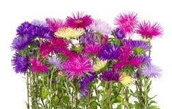 Bujny Terry jesieni astery kwitną na flowerbed Zdjęcia Stock