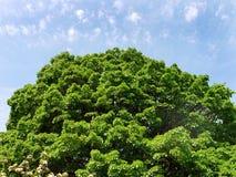 Bujny, wielka korona drzewo z zielenią opuszcza na niebieskiego nieba tle obrazy stock