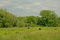 Bujny wiosny zielona łąka z drzewami i pasanie czarnymi koniami fotografia stock