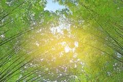 Bujny zieleń Bambusowy tunel z promieniami światło słoneczne fotografia royalty free