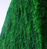 Bujny zieleni ściana hedera helix lub pełzacza bluszcza ulistnienia dywanowy wzór zdjęcia royalty free