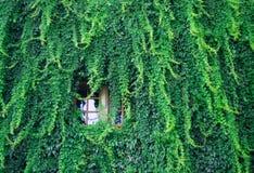Bujny zieleni ściana hedera helix lub pełzacza bluszcza ulistnienia dywanowy wzór zdjęcie stock