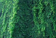 Bujny zieleni ściana hedera helix lub pełzacza bluszcza ulistnienia dywanowy wzór fotografia stock