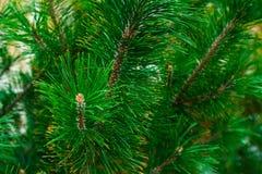 Bujny zieleni gałąź conica świerczyny igieł igieł długiego niebieskozielonego tła wystroju dekoracji soczysty jaskrawy projekt zdjęcia royalty free