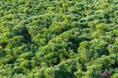 Bujny zieleni krzaki iglaści krzaki sosnowi zdjęcia royalty free