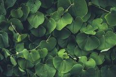 Bujny zieleni sercowaci liście zdjęcie royalty free