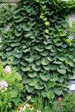 Bujny zielonego bluszcza pnący up trellis Fotografia Stock