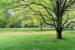 Bujny zielony drzewo w miasto parku zdjęcia royalty free